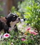 Kaip išsirinkti veislinį šunį?