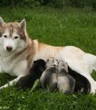 Atsakingas šuns veisėjas – koks jis?