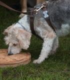 Šuns dresūra ar auklėjimas?