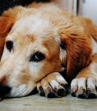 Kodėl būtina trumpinti šuns nagus?