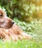 Senstančio šuns priežiūra ir šeimininko atsakomybė