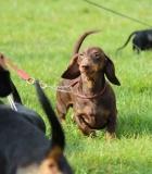 Ar senyvą šunį galima išmokyti triukų?